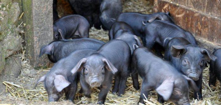 Черни прасета