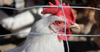 кокошка пиле птиче месо пилешко месо