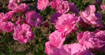 Роза дамасцена