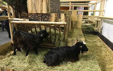 Българска дългокосместа коза