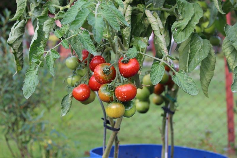 Николай Михайловски домати в саксия