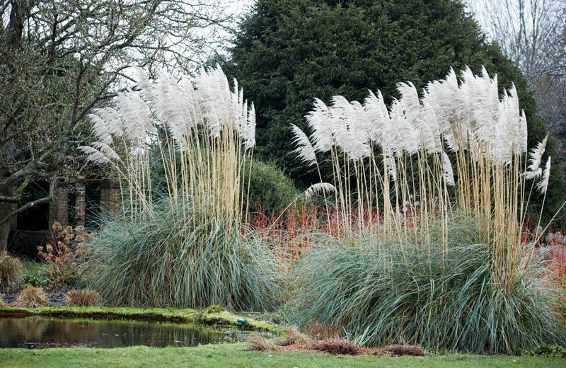 Пампаска трева, кортадерия