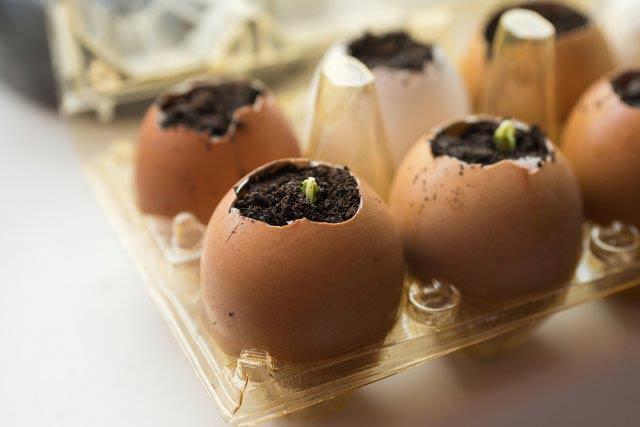 Разсад в яйчени черупки
