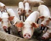 Българското свиневъдство може да се възстанови до края на 2022 г.