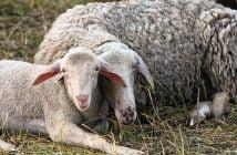 Овце агне