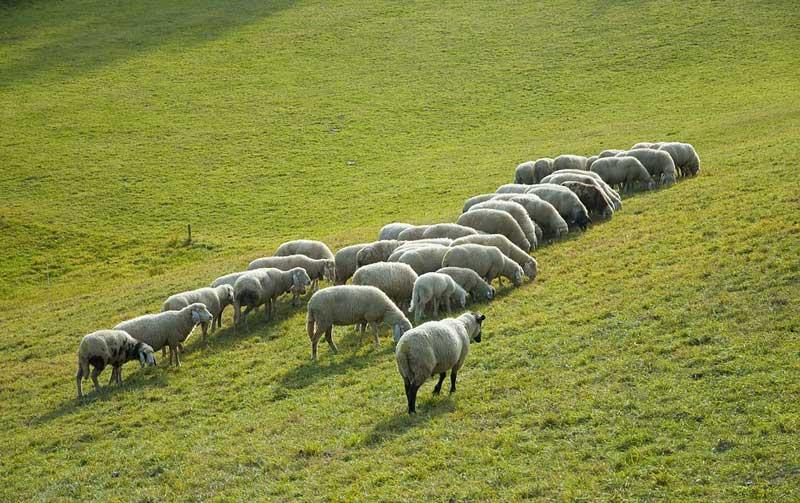Овце агнета