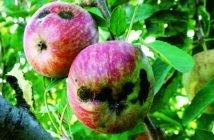 Струпясване по ябълките