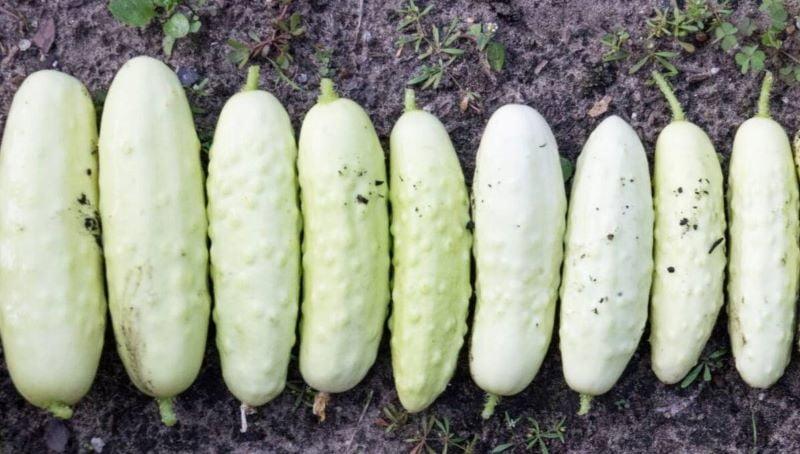 Бели краставици