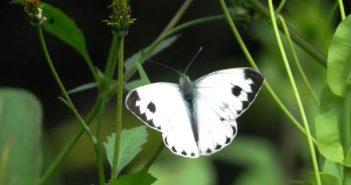 Бяла зелева пеперуда