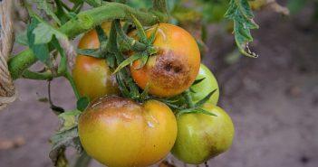 Картофена мана по доматите