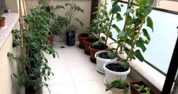 Корнишони и домати в саксии