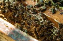 Слава Антонова, пчели