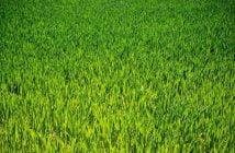 Жито и житни култури