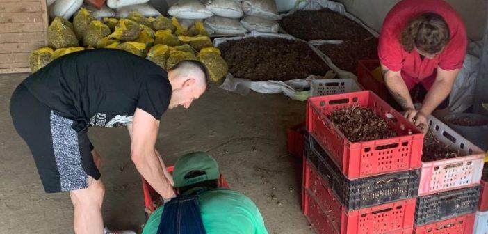 Луковици за шафранов минзухар