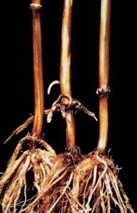 кореново гниене