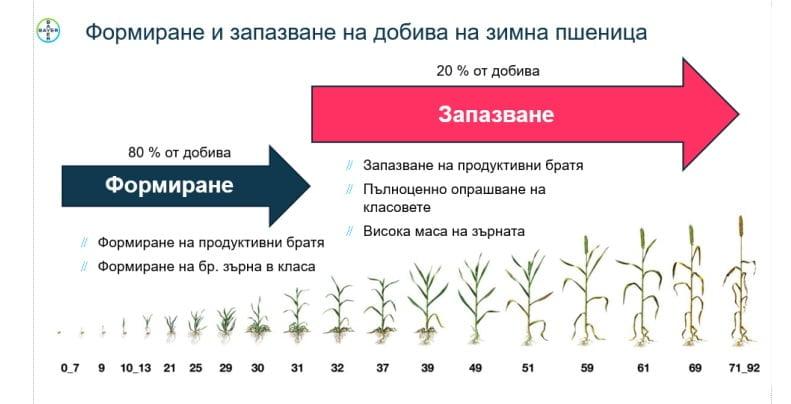 Зимна пшеница