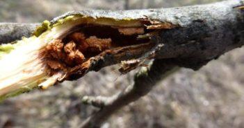Дървесница