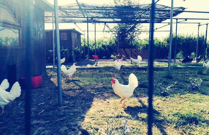 Осинови кокошарник пресни яйца