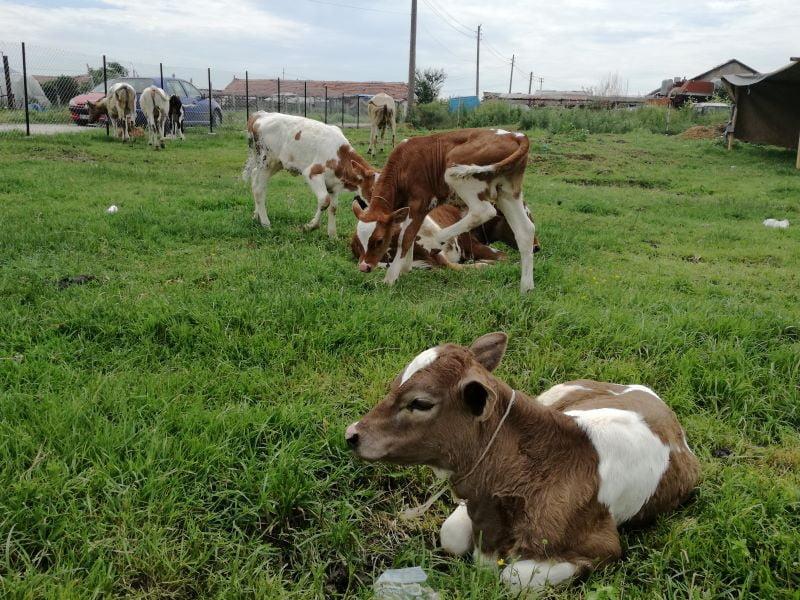 Нефела крави