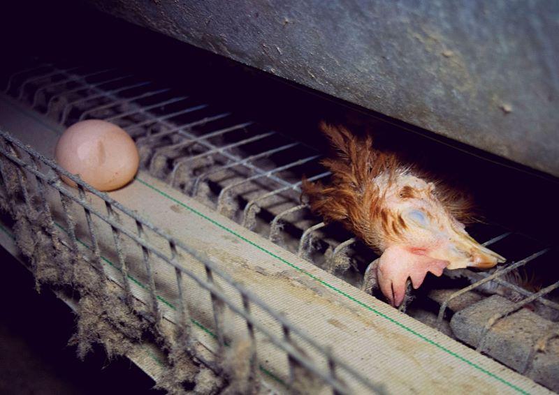 Кокошки в клетки, клетъчно отглеждани кокошки