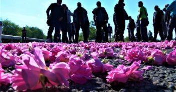 Протест рози