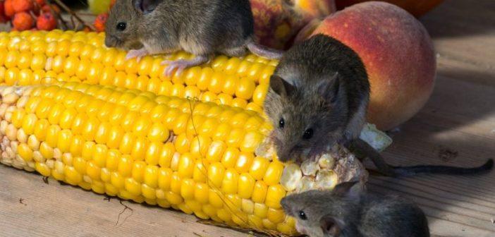 Как да решим проблемите с мишки и плъхове в стопанството