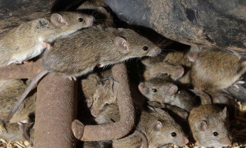 Нападение от полски мишки
