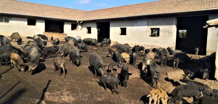 ИАСРЖ продава на търг прасета от изчезващата порода Източнобалканска свиня